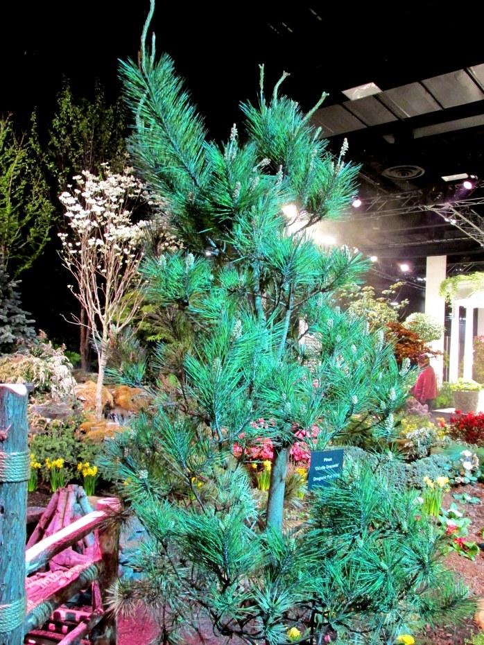 Heimlich Nurseries: Dragon's Eye Pine