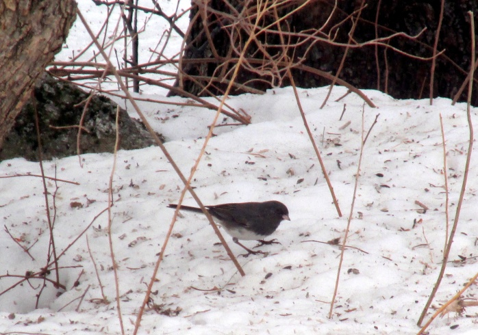 junco today