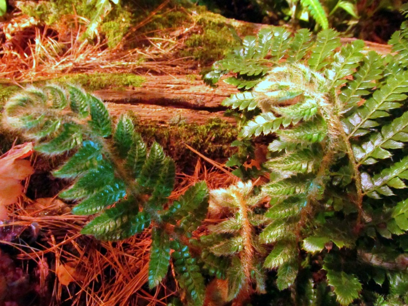 """Massachusetts Horticultural Society display: furry fern labeled """"Huperzia Club Moss"""""""