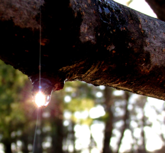 sap from our Norway maple on 19 April 2014