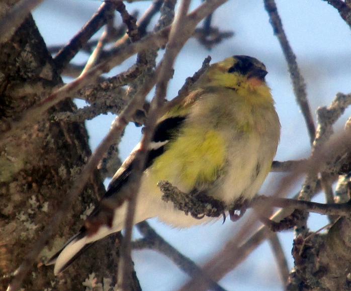 goldfinch yellowing, yesterday