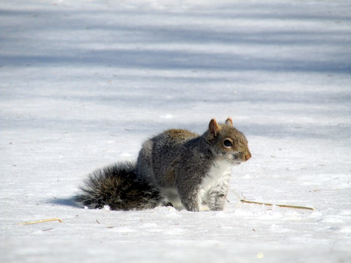 greysquirreldigginginsnowB23March2015