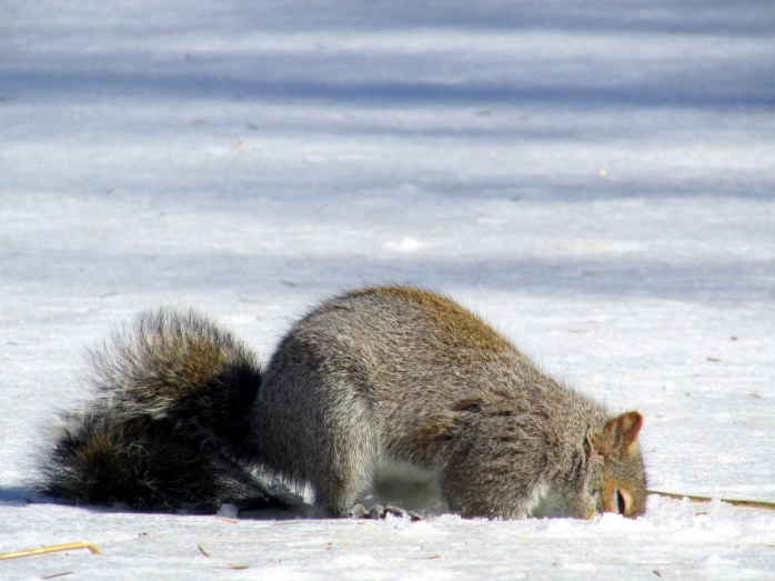 greysquirreldigginginsnowC23March2015