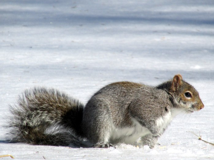 greysquirreldigginginsnowD23March2015