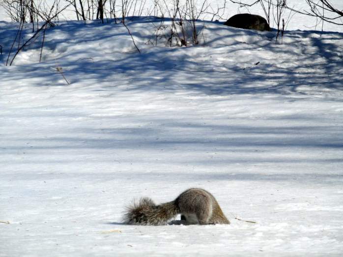 greysquirreldigginginsnowF23March2015