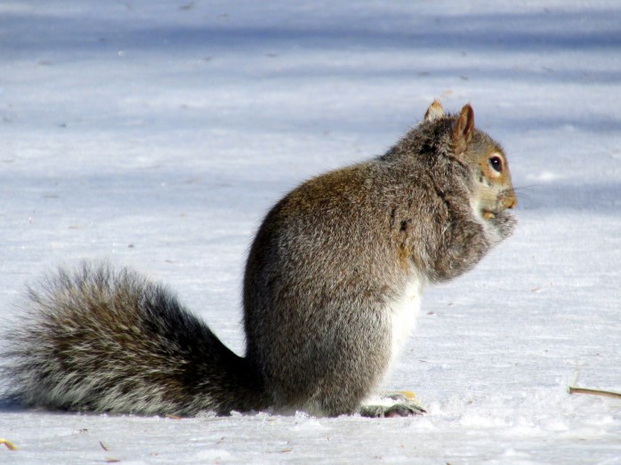 greysquirreldigginginsnowG23March2015