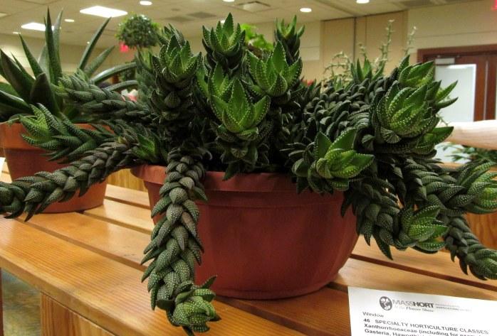 Amateur Horticulture Competition: Haworthia coarctata - propagated 40 yrs ago