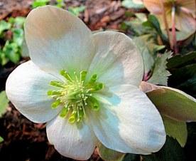 Heimlich Nurseries: hellebore bloom