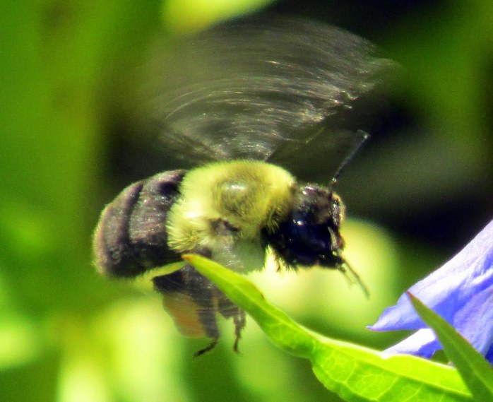hovering bumblebee by gentian