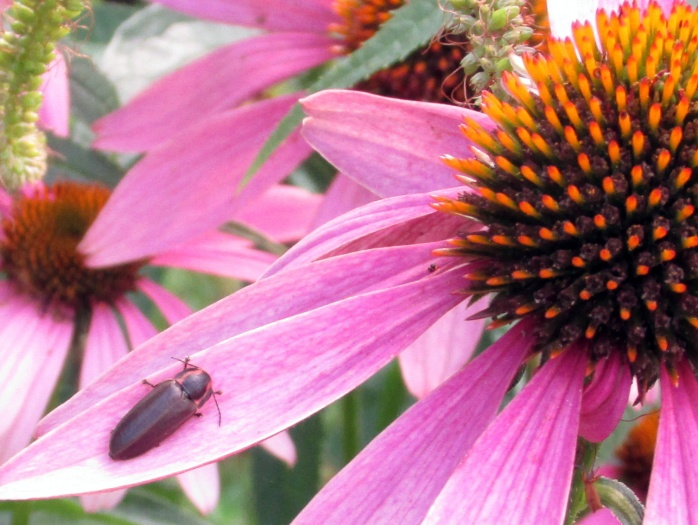 firefly (?) on echinacea