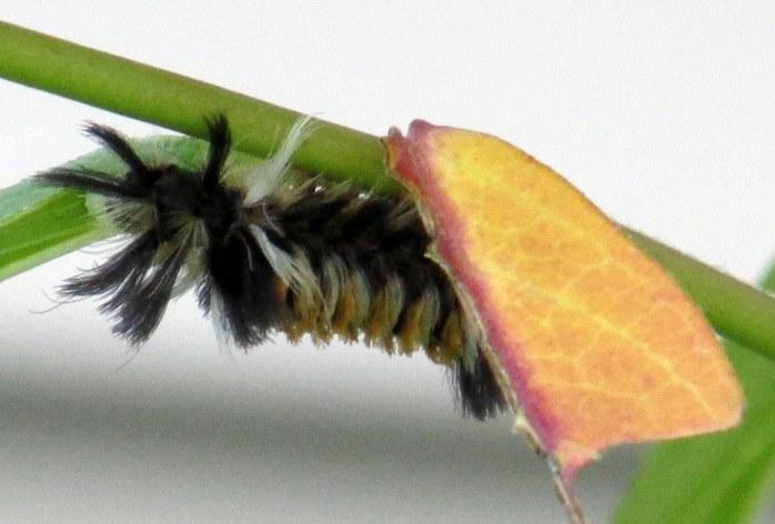 milkweed tussock moth on asclepias