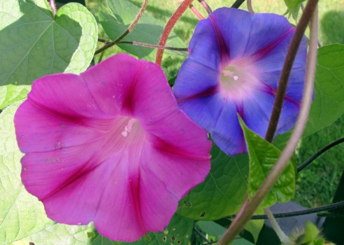 pinkandbluemorningglories7Sept2013