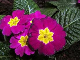Plant Something Massachusetts display: purple and yellow primrose