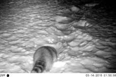 raccoon on motion camera on Saturday