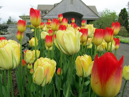 redandyellowtulipsandentranceCMBG23May2014
