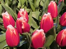 Graystone Masonry: red fringed tulips