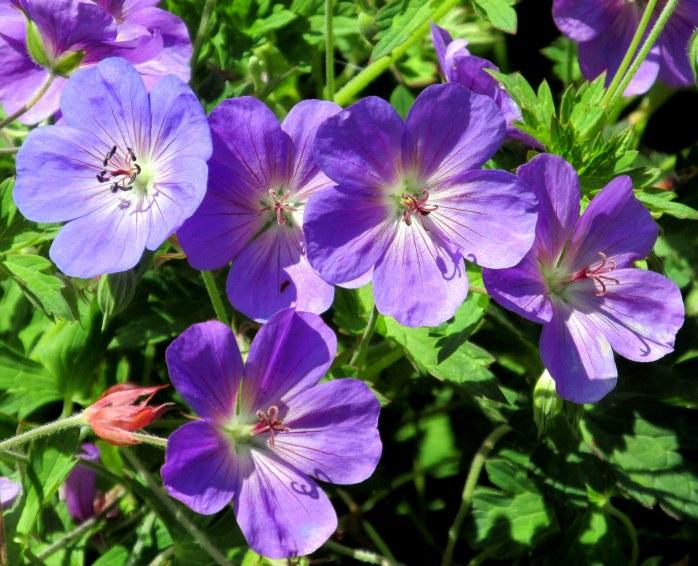 'Rozanne' geranium blooms