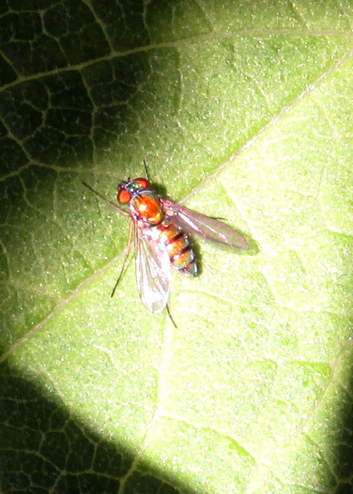 Sciapodinae condylostylus or Amblypsilopus scintillans fly on asclepias leaf