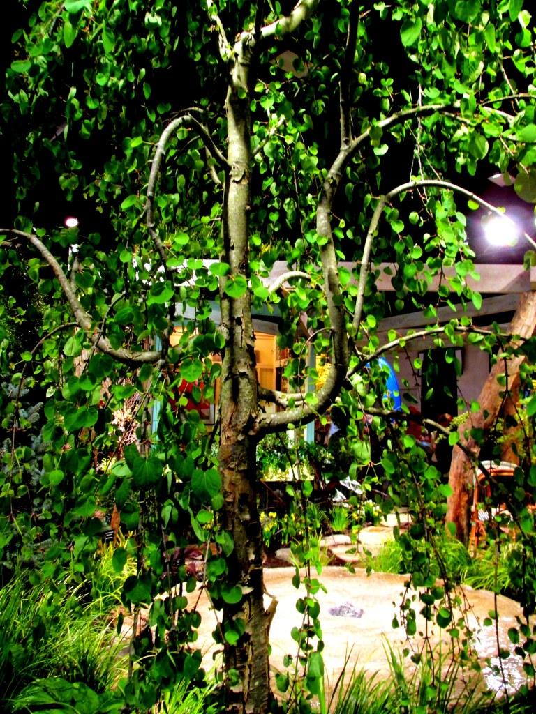 Miskovsky Landscaping and Haskell Nursery display: shape of weeping Katsura tree