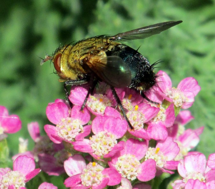 Tachinidae archytas (possibly Apicifer) fly on 'Summer Pastels' yarrow