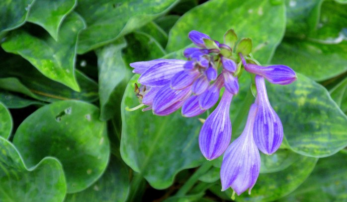 Blue Cadet hosta bloom