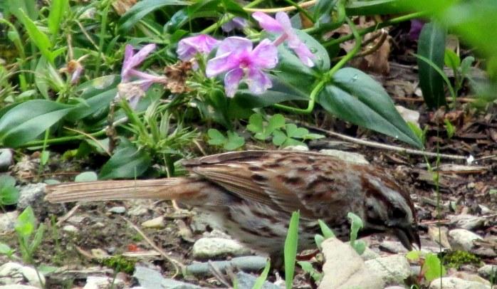sparrow in garden, 10 July 2014