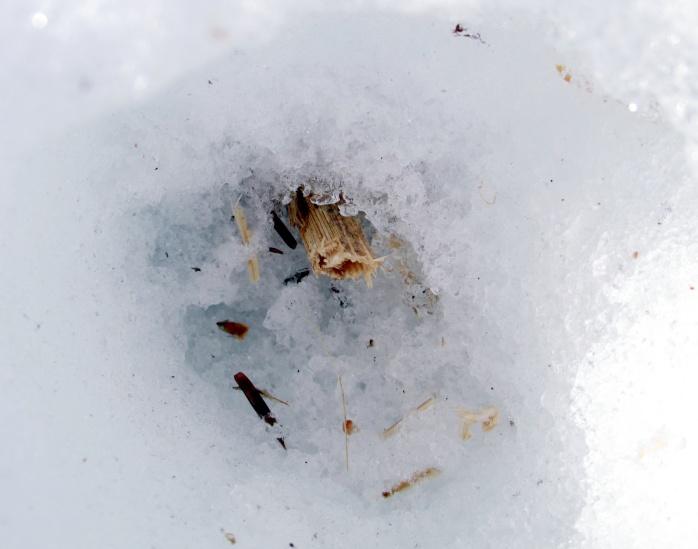 stalk rooted in ground under snow
