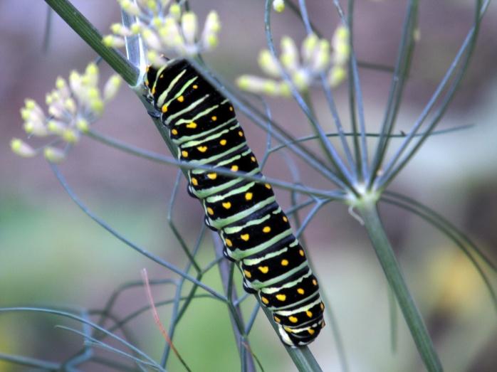 swallowtail caterpillar in fennel, 15 Sept 2014