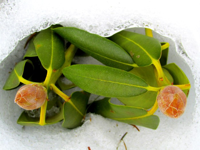 rhododendron buds above snow today