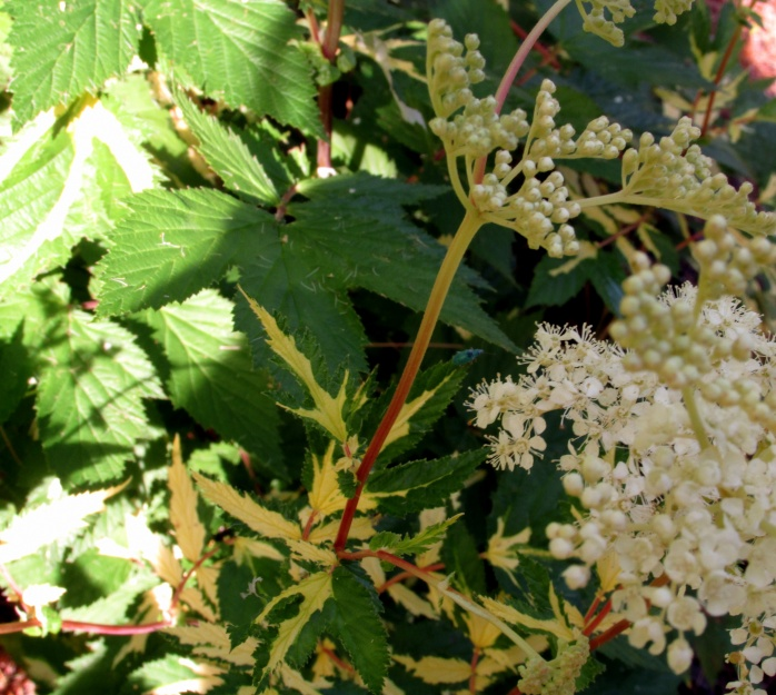 variegated filipendula bloom