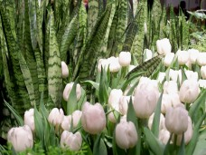 whitetulipsandsnakeplants