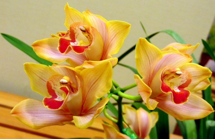yellow-red orchids