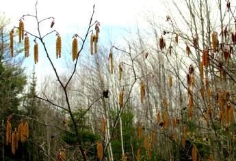 alder with catkins