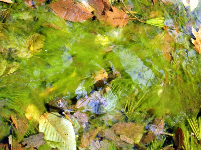 algae in brook