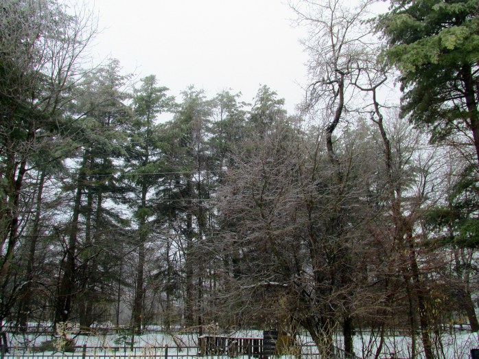 apples, maples, white pines in ice
