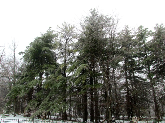 mainly white pines in ice