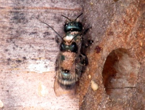 Osmia (mason) bees with mites, mating on bee box