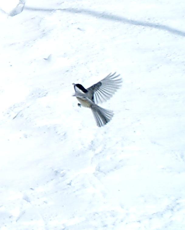 chickadee in flight over snow
