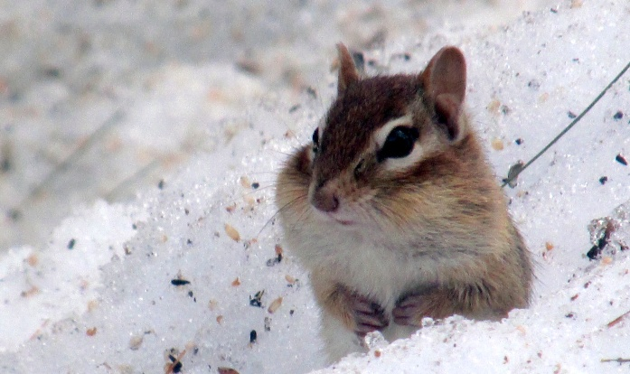 chipmunk and snow