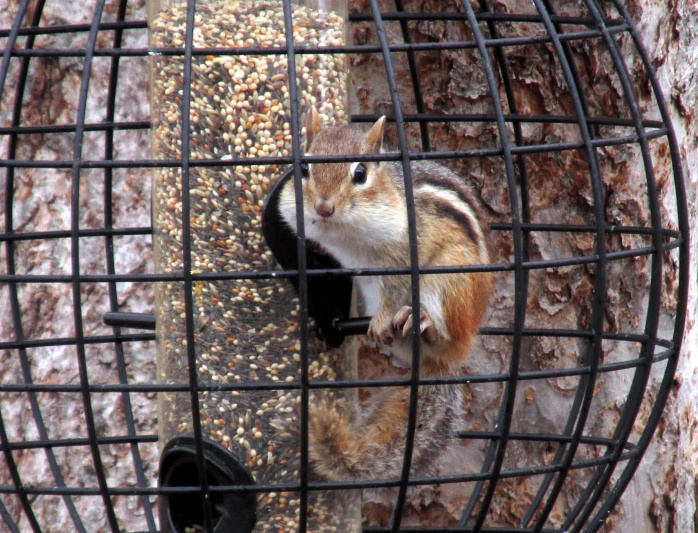 chipmunksittingonperchinfinchfeeder20April2015