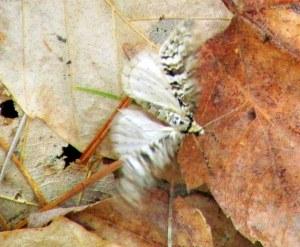 Cladara atroliturata (scribbler moth) in motion