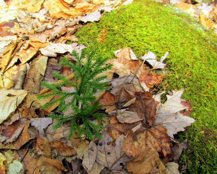 club moss and other moss