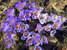 crocuses19April2015
