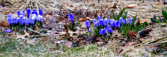 crocusesinlightsnowdusting23April2015