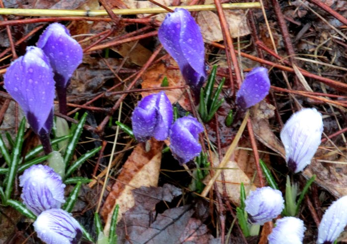 crocusesraining20April2015