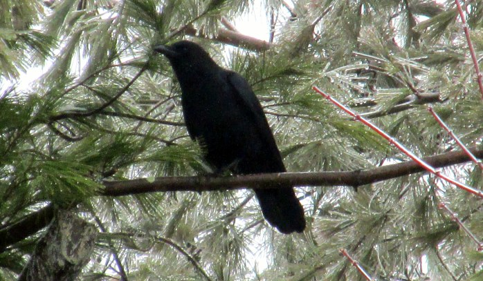 crow in icy white pines