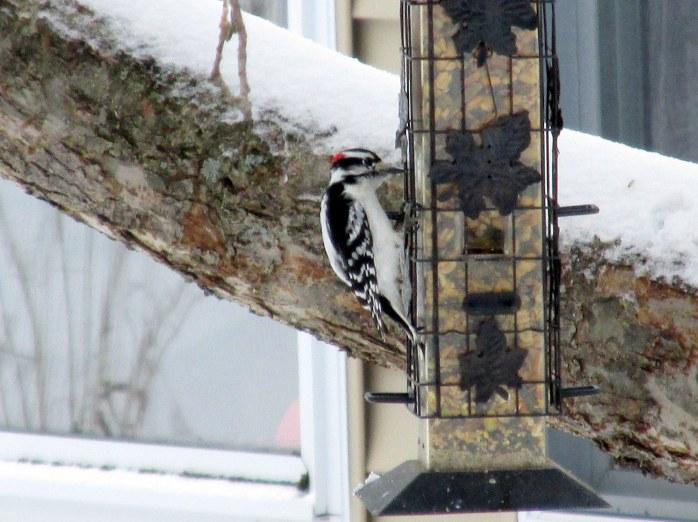 male downy woodpecker on feeder