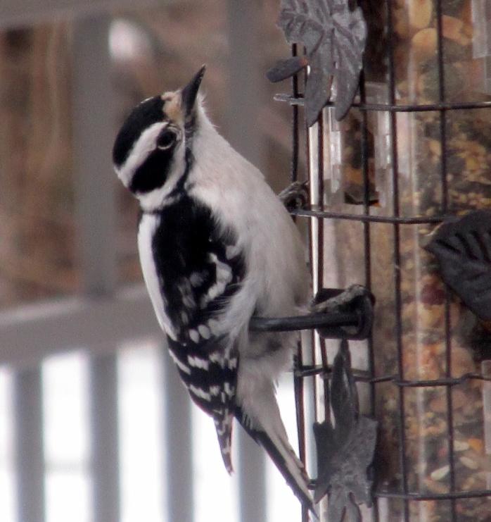 female downy woodpecker at feeder
