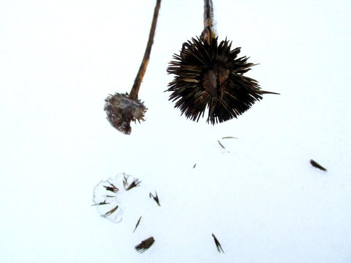 echinacea seedhead in snow