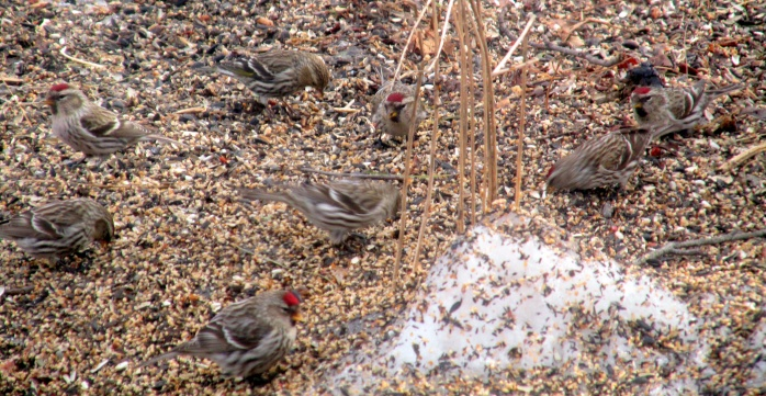 eight redpolls in seed